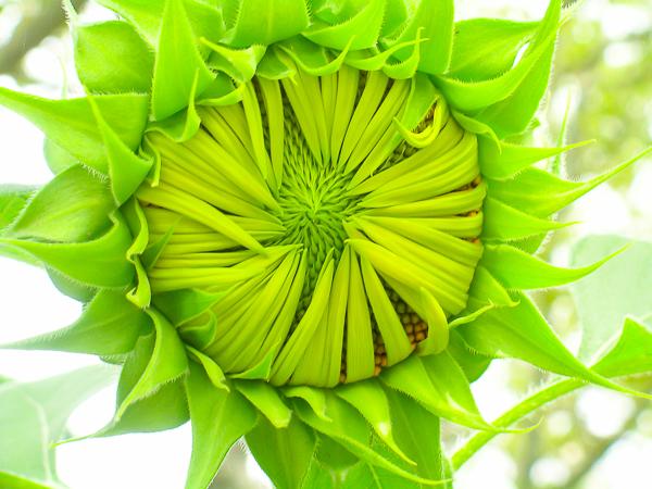 Photo-of-awakening-sunflower-by-Jann-Alexander-©2014