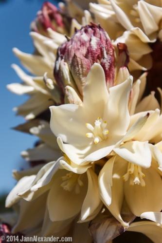 West Texas Yucca Bloom by Jann Alexander © 2014