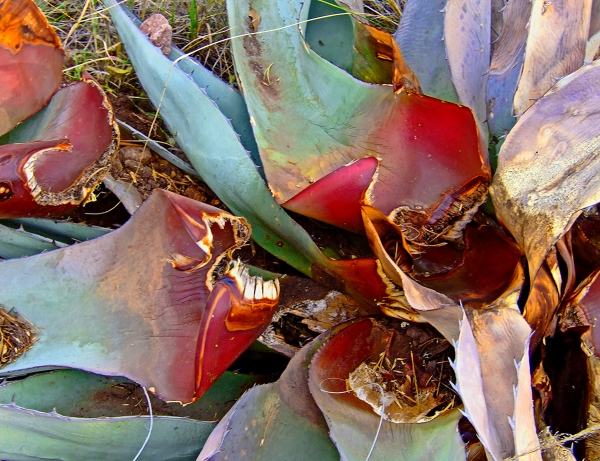 Dying Agave by Jann Alexander © 2011