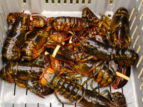 trapped live lobsters