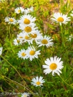 Daisy Chain in Maine by Jann Alexander © 2014