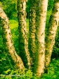 River Birches, Grandstanding by Jann Alexander ©2014