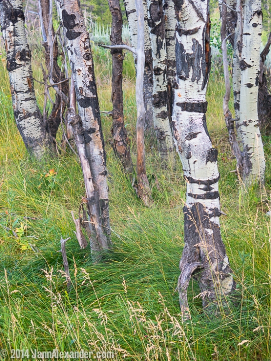 Teton Birches by Jann Alexander ©2014