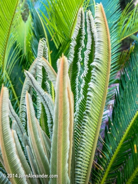 Sago Palm Leaves, Uncurling by Jann Alexander ©2014