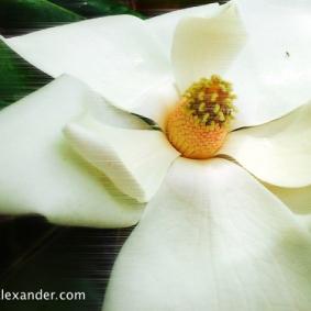 Windy Magnolia flower photo by Jann Alexander ©2014