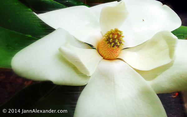 Windy Magnolia flower photo by Jann Alexander ©2014