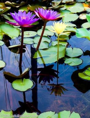Lovely Water Lilies by Jann Alexander © 2014