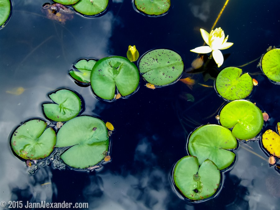 Lily Pads Afloat