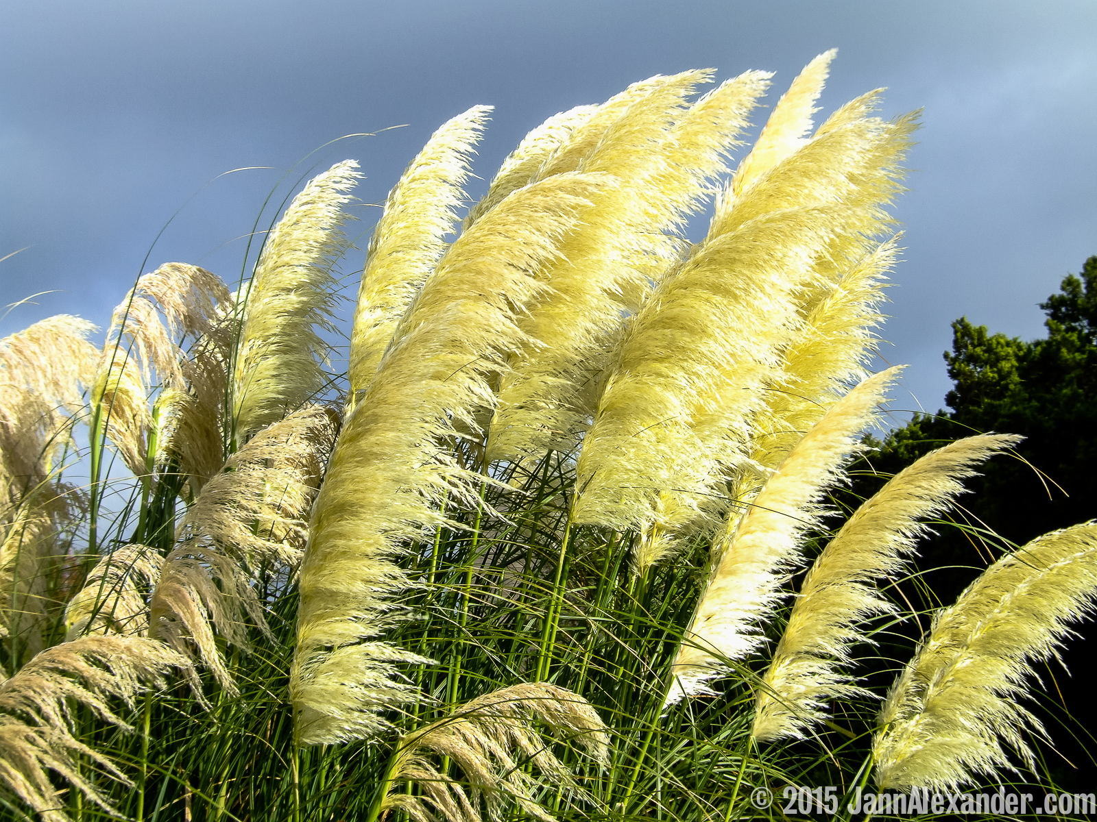 Pampas Grass in Motion