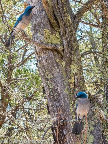 Nosy Jays by Jann Alexander ©2015